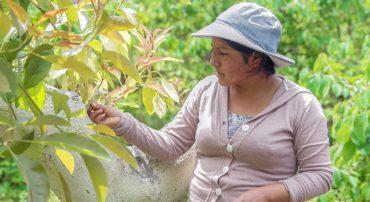 Región Lima:  Campaña de liberación de insectos y microorganismos benéficos para el control biológico en parcelas agroecológicas